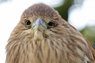 Eye Contact With A Baby Night Heron
