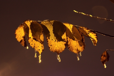 Leaf And Icicles At Night
