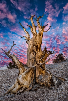 Bristlecone At Sunset