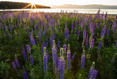 Lupines At Sunrise