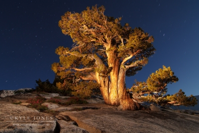 Olmstead Juniper At Night