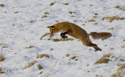 Red Fox Jumps For Food