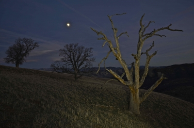 Moonlit Oaks