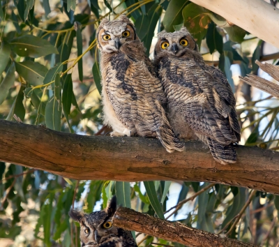 Horned Owl Siblings