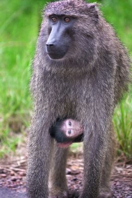 Baboon With Infant