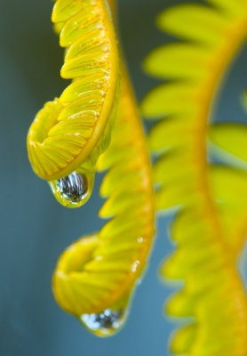 Raindrops On Fern