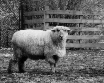 Monochrome Sheep