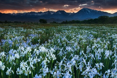 Eastern Sierras And Wild Iris