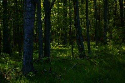 Green Morning Glow In Forest