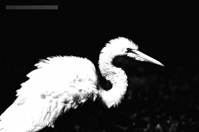 Puffed Up Egret In Silhouette