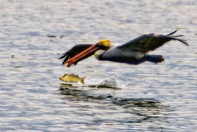 Brown Pelican And Fish