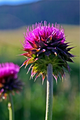 Rocky Mountain Thistle
