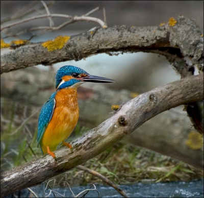 Kingfisher Purching On Tree Trunk