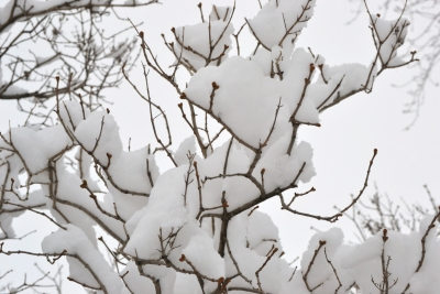 Snowy Lilac Branches
