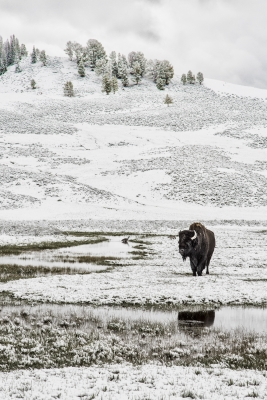 A Lonely Bison