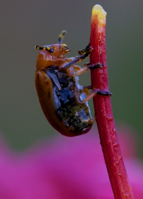 June Beetle On Daylilly