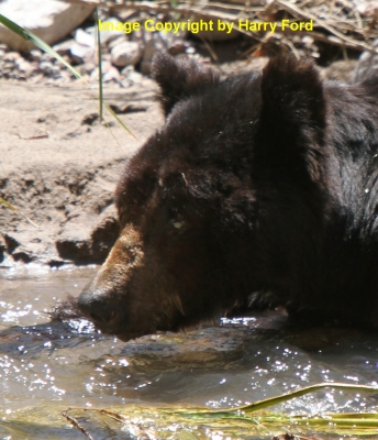 105 Degrees And This 350 Lb Black Bear Is Chillin And Fishing In Aravaipa Creek