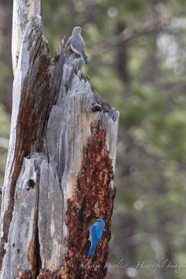Eastern (mt) Bluebirds