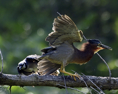Air Attack Of Green Heron