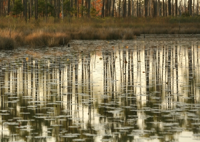 Pine Savana Reflections