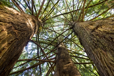 Trunk To Sky In The Pacific Northwest