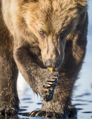 Brown Bear And Clams