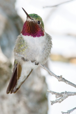 Bejeweled Hummingbird