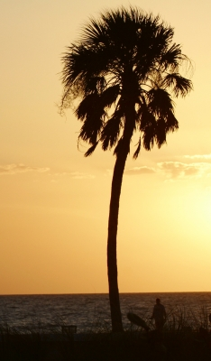 Palm Tree On Clearwater Beach