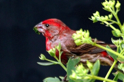 The Other Red Bird