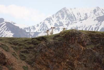 Dall Sheep In Denali