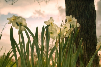 Irises At Sunset