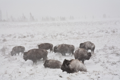 Bison In Snow Storm