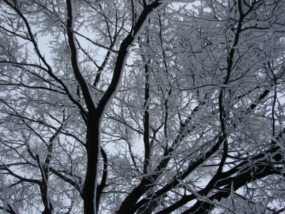 Looking Up: Snow Covered Branches