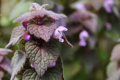 Purple Dead Nettle