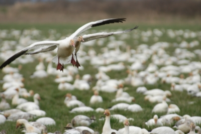 Snow Geese In Stanwood