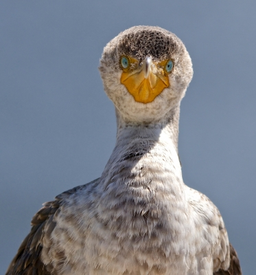 Here's Looking At You – Young Cormorant
