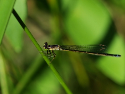 Female Pacific Forktail