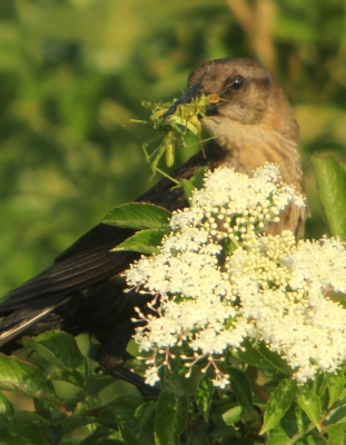 Mother Grackle With Breakfast