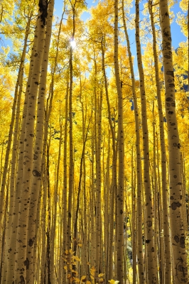 Golden Army Of Aspens