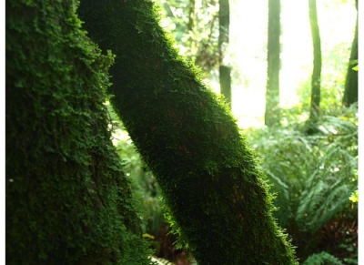 Light On Mossy Forest