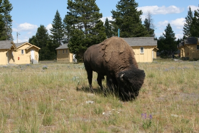 Bison In Front Of Our Hotel Near Lake Yellowstone