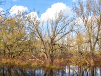 Waterlogged Willows