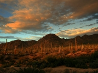 """saguaro Stand At Sunset"""