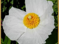 Matilija Poppy With Insect