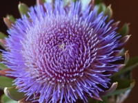 Artichoke In Bloom