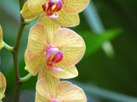 Triple Orchid