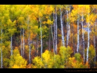 Painting With Aspens