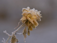 Frosty Weathered Rose