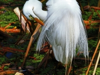 The Elegant Great White Egret