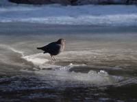 Tiny American Dipper Hesitates Before The Icy Dive